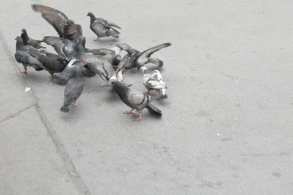 Gołębie są wszędzie