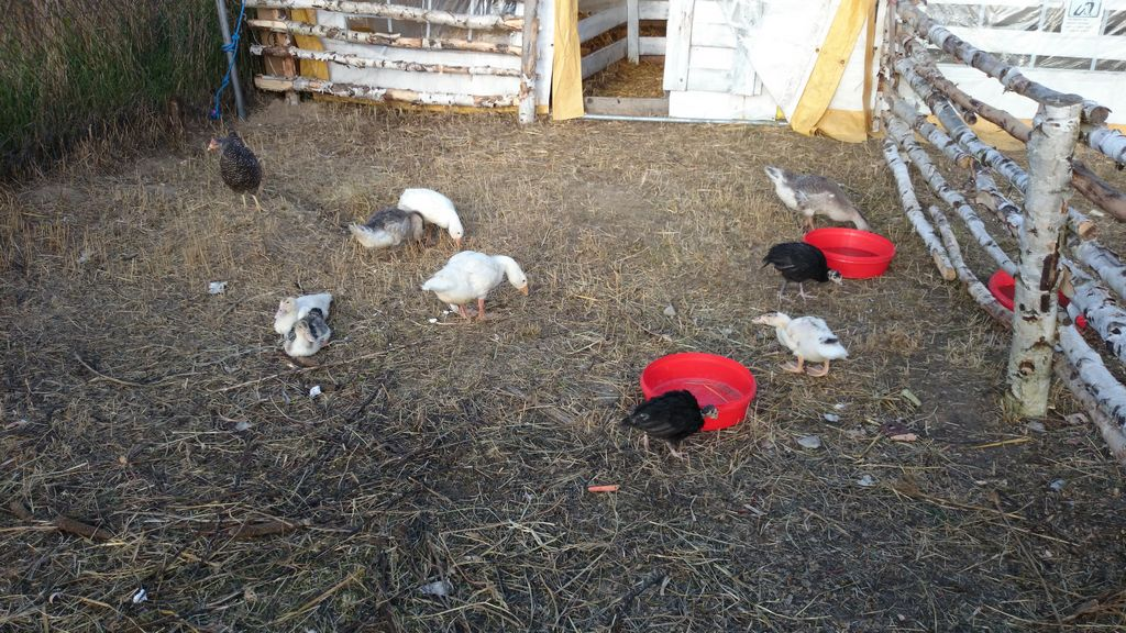 Kury :) Na farmie dyń, gdzie byliśmy są małe zwierzaki - dla dzieci niesamowita atrakcja :)