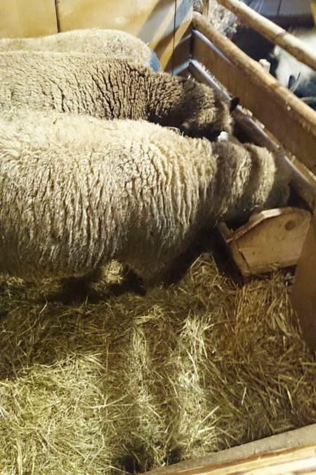 Owieczki w szopce