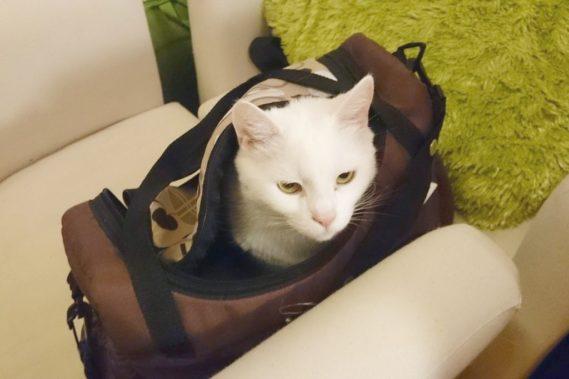 Prawo kota: zawsze wejdzie do torby lub pudła, zawsze