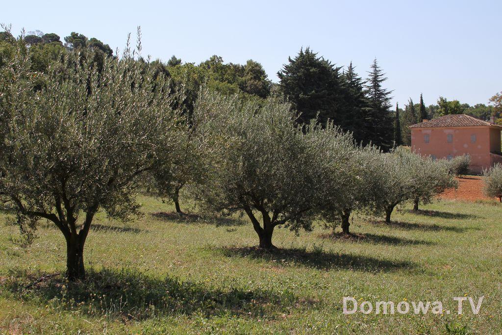 Gaje oliwne