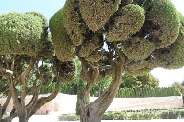 Drzewa jak brokuły