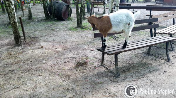 Farma Iluzji, tak to prawdziwa koza, tak ona naprawdę uciekła, ale w tym miejscu zaczynasz wątpić czy to specjalnie czy przypadkiem :D