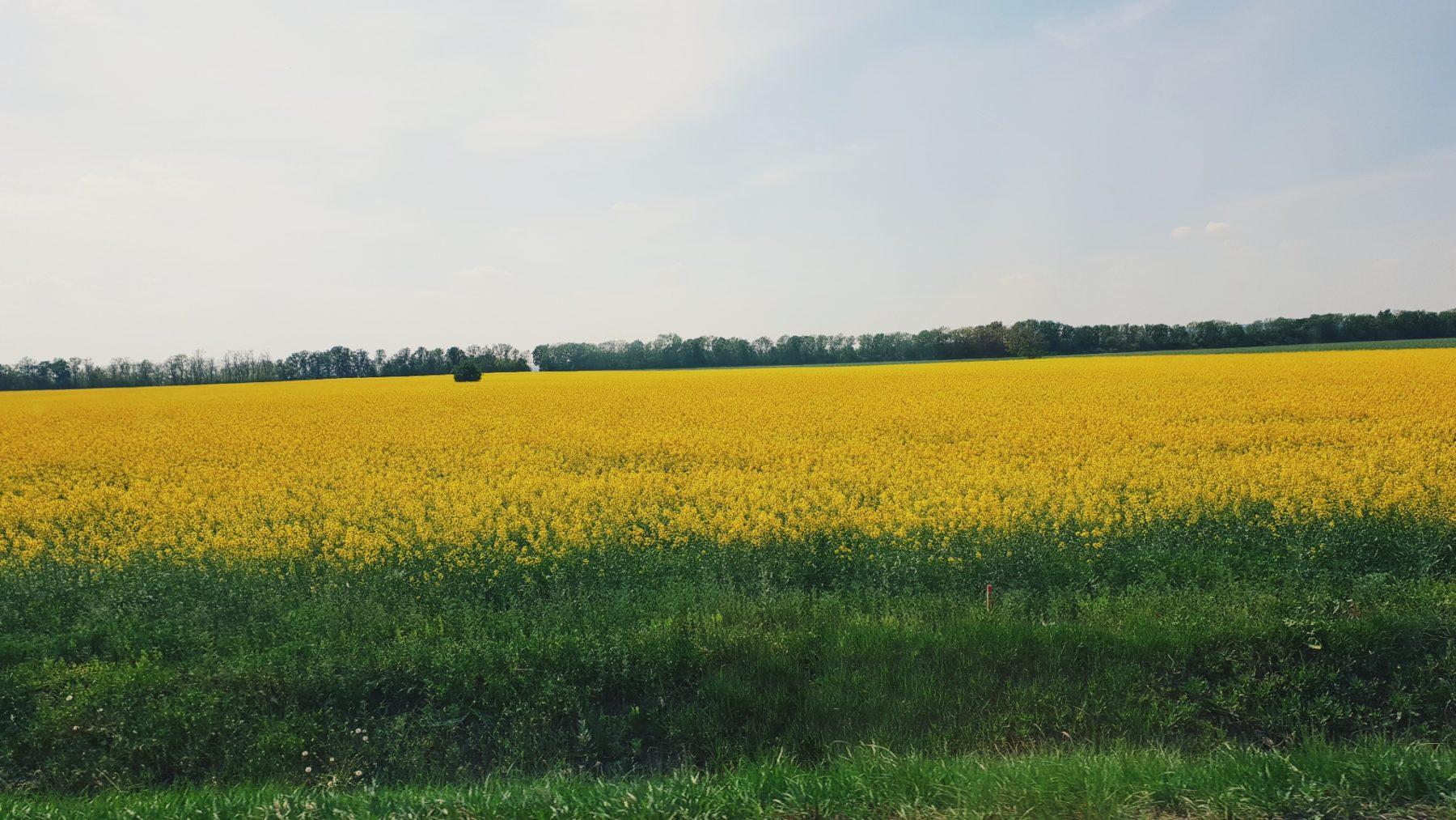 W drodze, czyli piękne pola rzepaku, oczywiście w Polsce też są, ale wszędzie zachwycają mnie tak samo