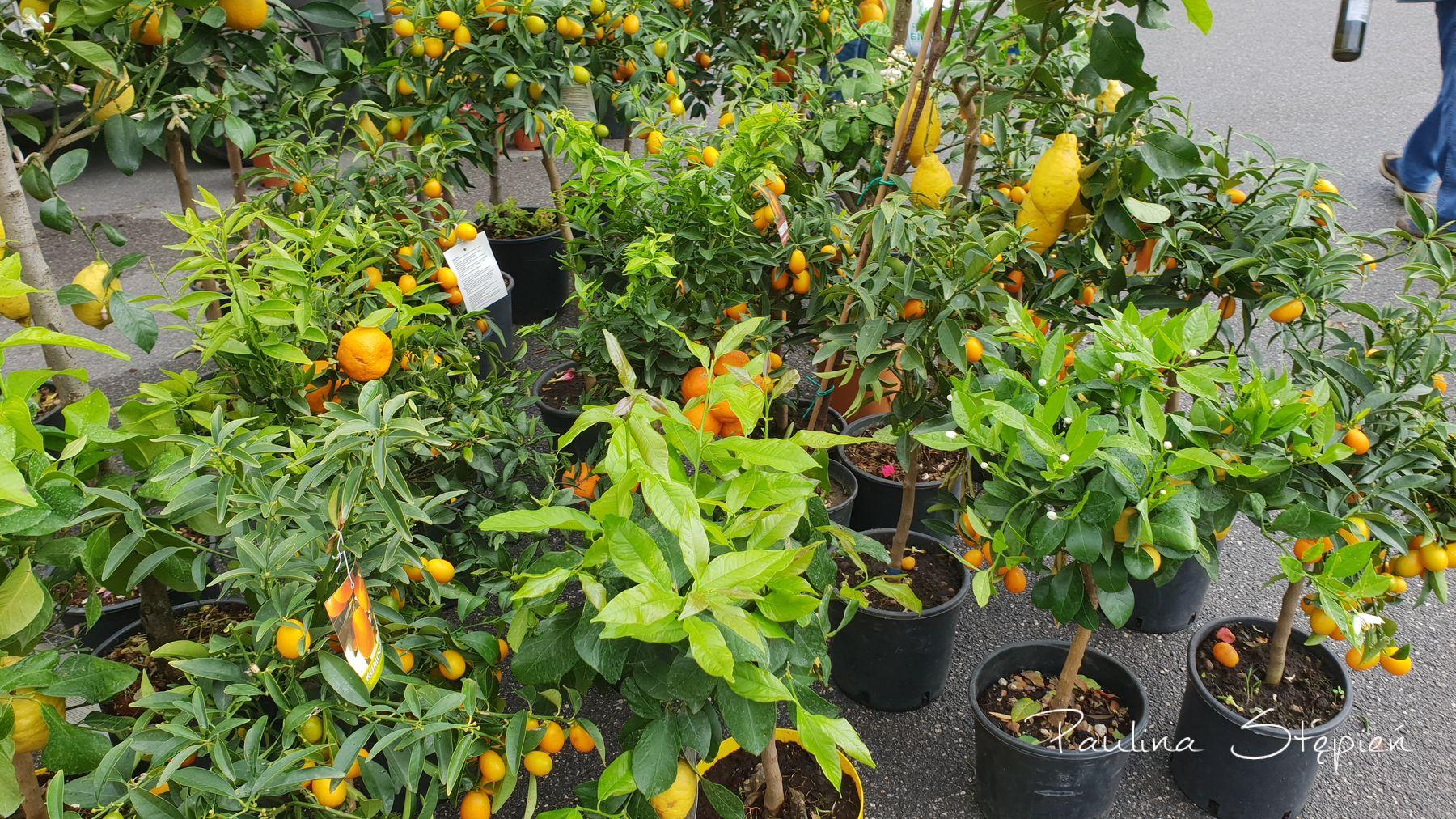 Komu krzaczek pomarańczy?