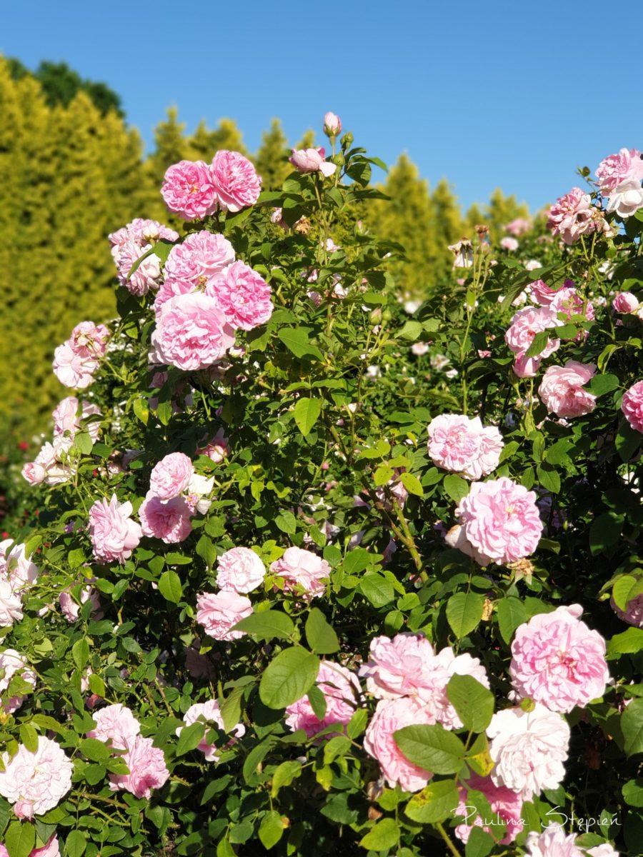 Róże w czerwcu